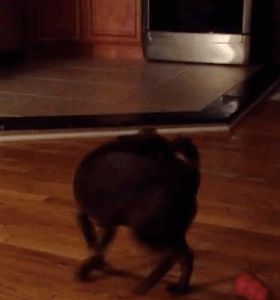 GIFs of Dogs Chasing Their Tail
