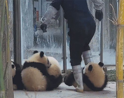 Panda GIFs. Over 100 Animated Images of These Animals