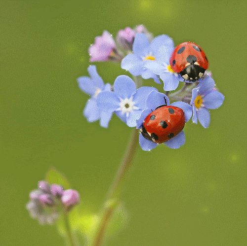 Ladybug GIFs. Animated Images of a Beetle for Good Luck