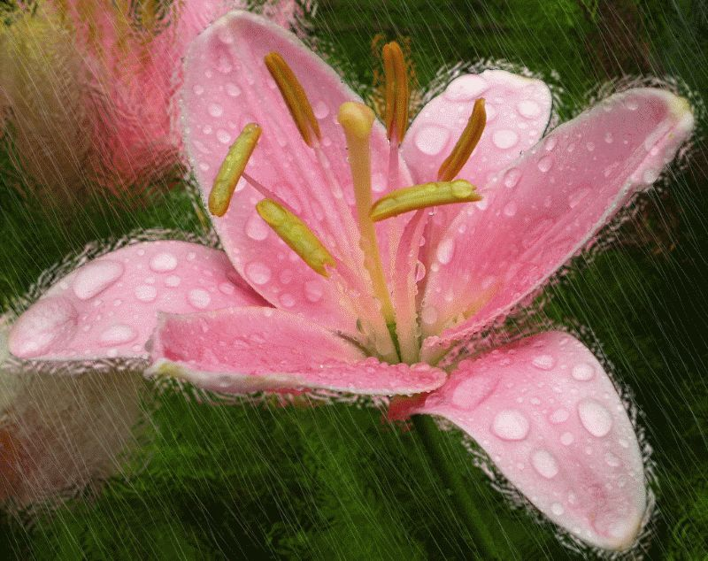 Lilies on GIFs. Beautiful Bouquets, Flowers and Backgrounds