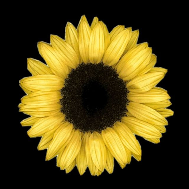 Sunflower GIFs. 95 Beautiful GIF Animations for Free