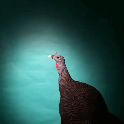 Turkey GIFs. Top 73 Animated Images of These Birds
