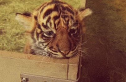 GIFs Tigers. 100 pieces of animated images of yawning, sleeping and other tigers
