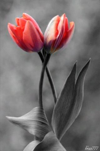GIFs Tulips. 100 pieces of animated picture. Spring flowers